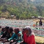 エチオピア「イルガチェフ・アリーチャ・ナチュラル」販売開始のお知らせ。